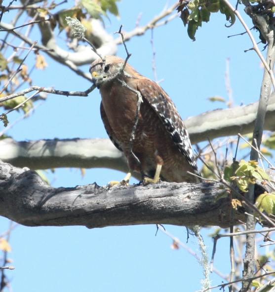 Red-shouldered Hawk (adult California form)