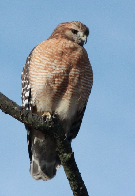 Red-shouldered Hawk photo #2