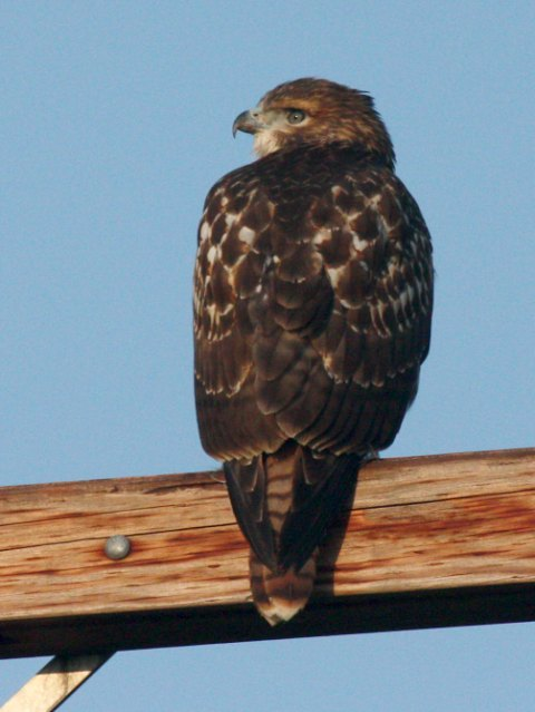 Red-tailed Hawk photo #3