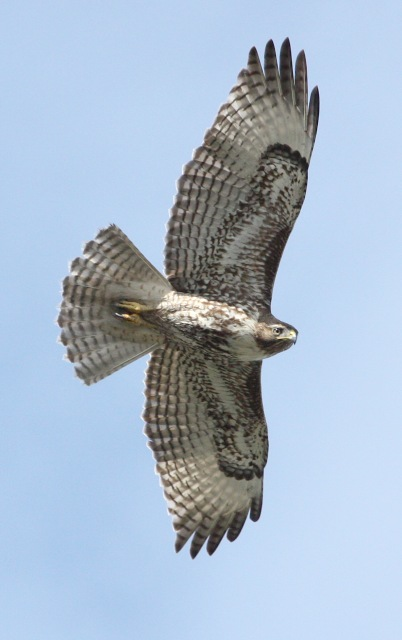 Red-tailed Hawk photo #2