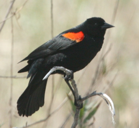 Red-winged Blackbird (California