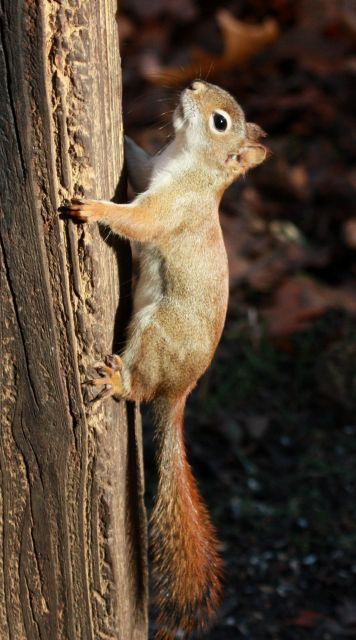 Red Squirrel photo 2