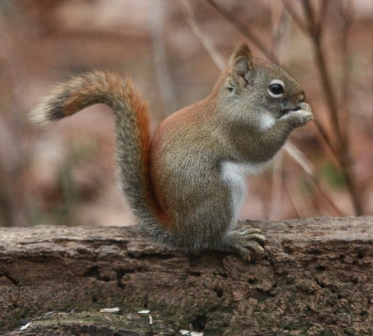 Red Squirrel photo 1