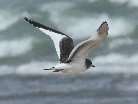Sabine's Gull (1st cycle in flight) Photo 2