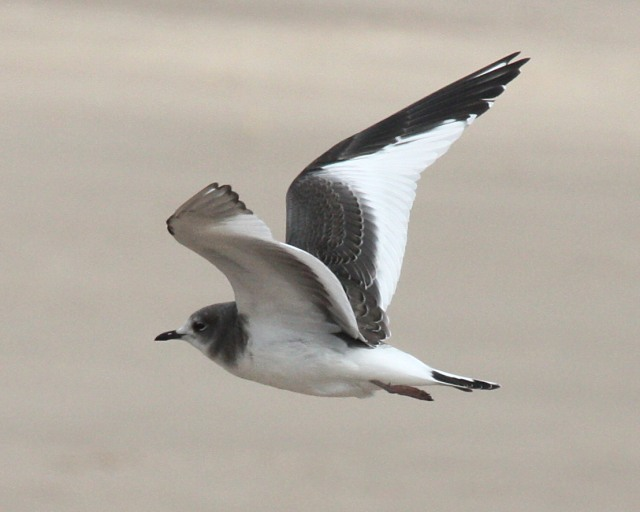 Sabine's Gull (1st cycle in flight) Photo 1