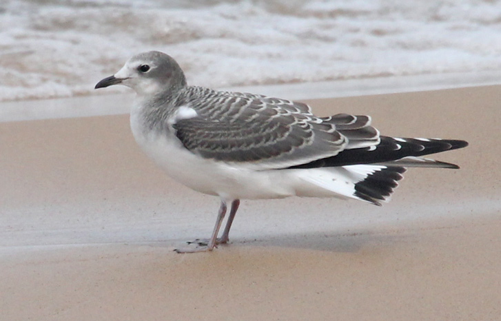 Sabine's Gull (1st cycle) Photo 4