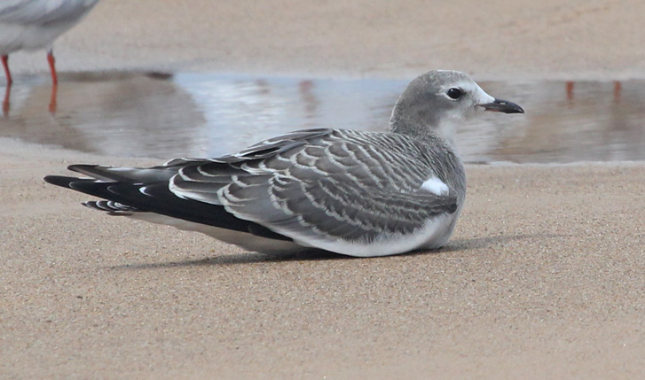 Sabine's Gull (1st cycle) Photo 2