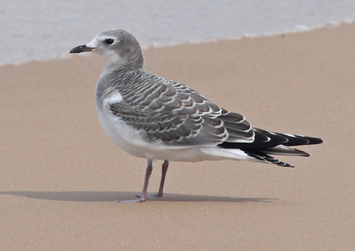 Sabine's Gull (1st cycle) Photo 1