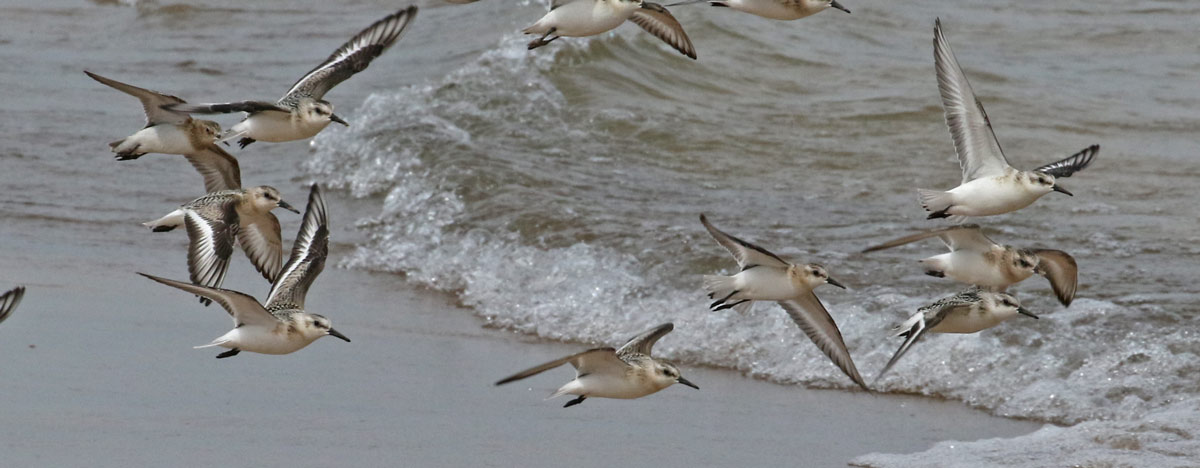 Sanderling (juvenile in flight)