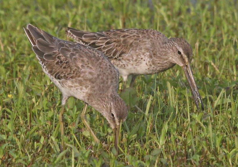 Short-billed Dowitcher Photo 1
