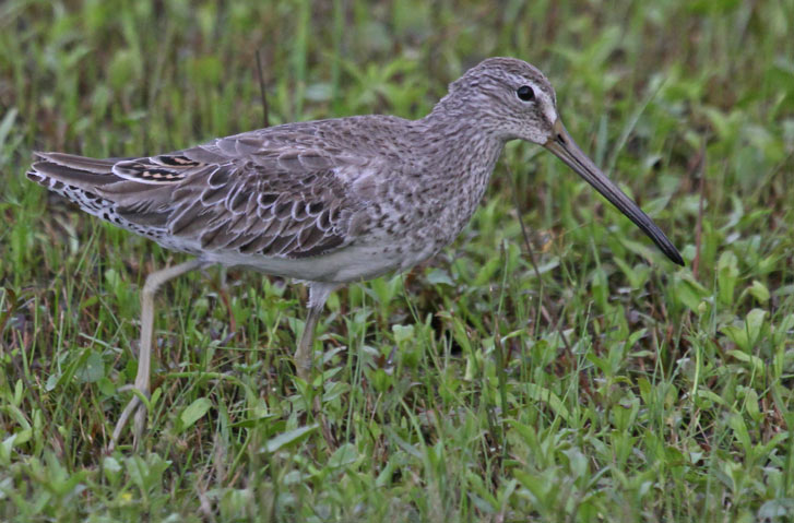 Short-billed Dowitcher Photo 3