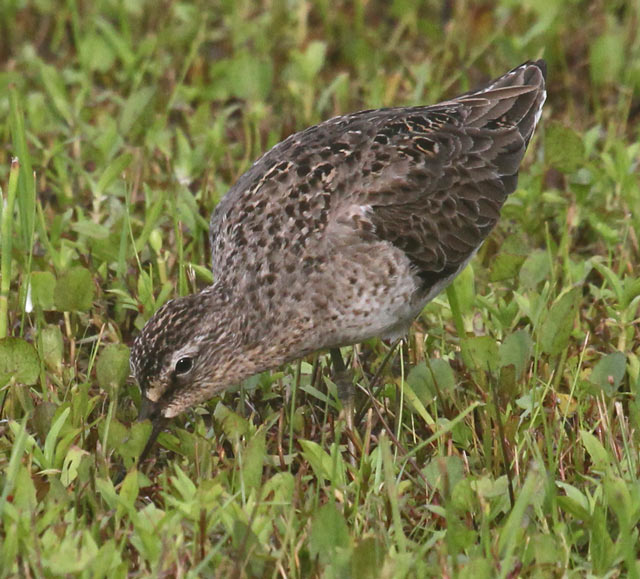 Short-billed Dowitcher Photo 2