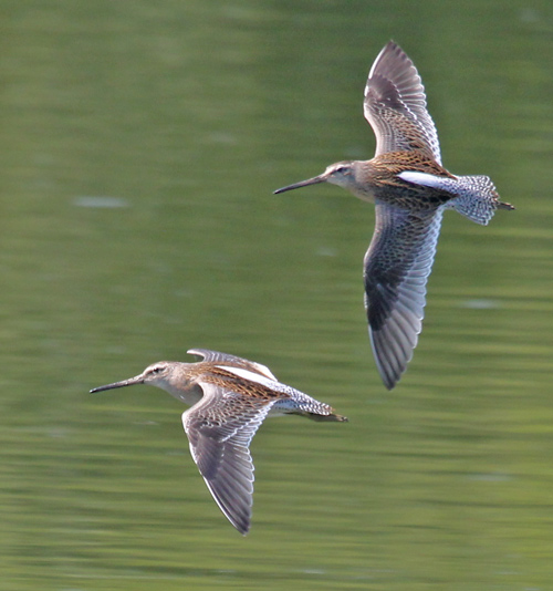 Short-billed Dowitcher Photo 4