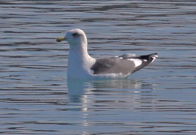 Slaty-backed Gull (adult)