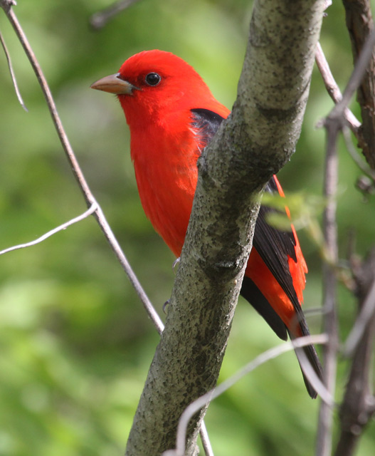 Scarlet Tanager (breeding-plumed male)