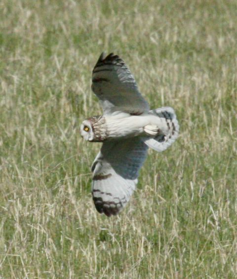 Short-eared Owl photo #2