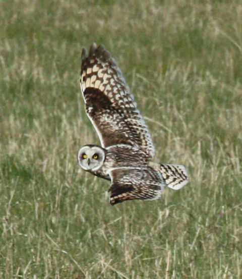 Short-eared Owl photo #1