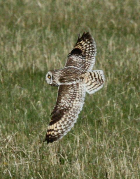 Short-eared Owl photo #3