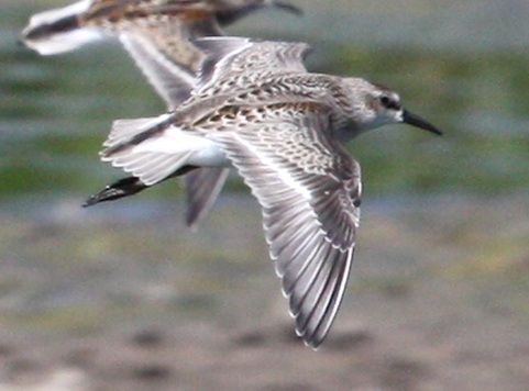 Semipalmated Sandpiper (juvenile in flight)