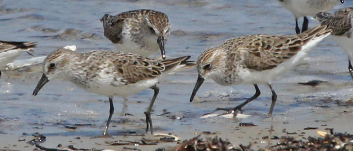Semipalmated Sandpiper (with tilted up tail)