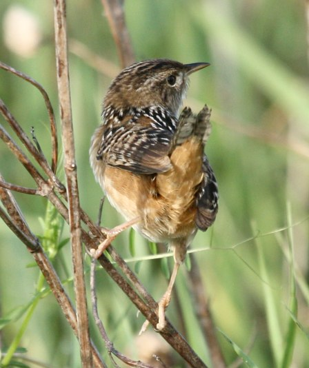 Sedge Wren photo #3