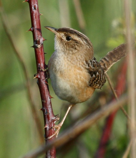 Sedge Wren photo #1