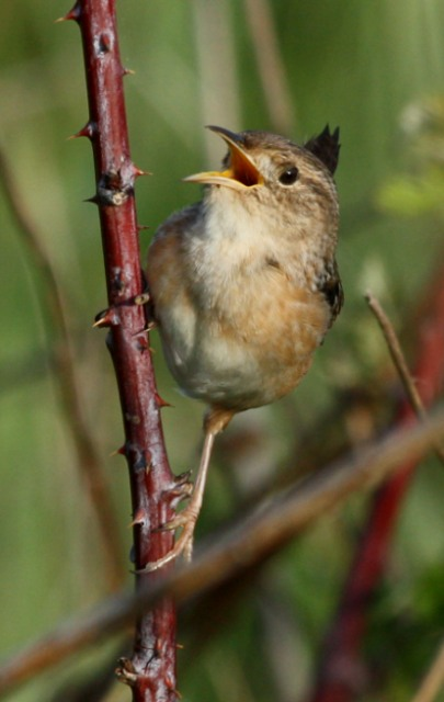 Sedge Wren photo #2