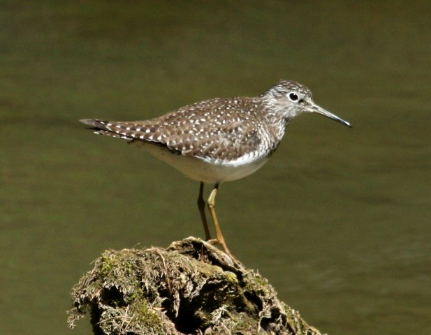 Solitary Sandpiper Photo 1