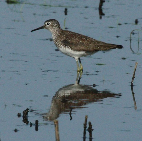 Solitary Sandpiper (fall adult)