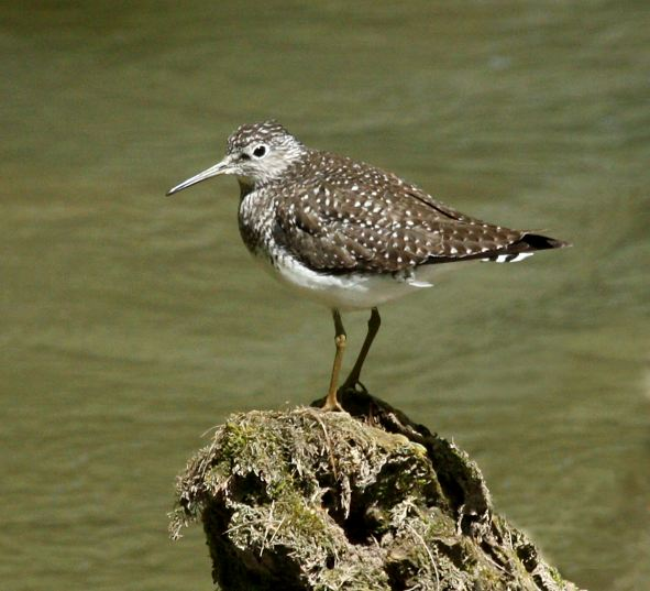 Solitary Sandpiper Photo 2