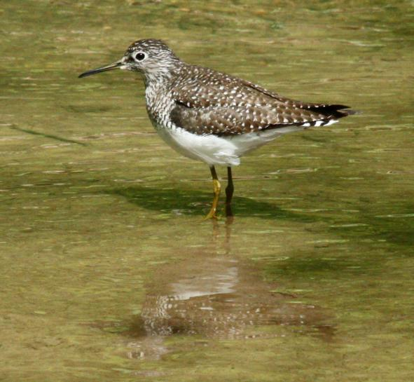 Solitary Sandpiper Photo 3