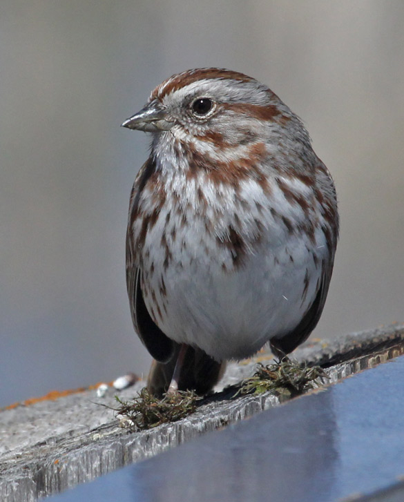 Song Sparrow Photo 1