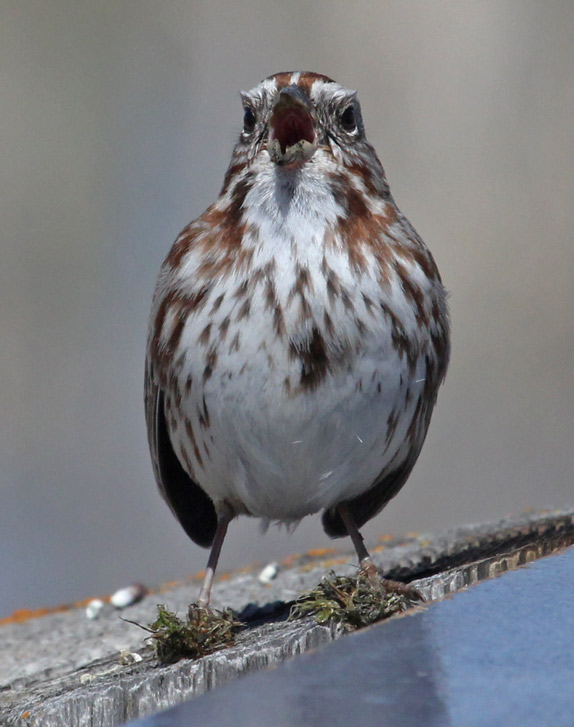 Song Sparrow Photo 2