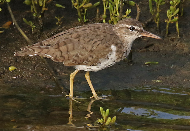 Spotted Sandpiper Photo 1