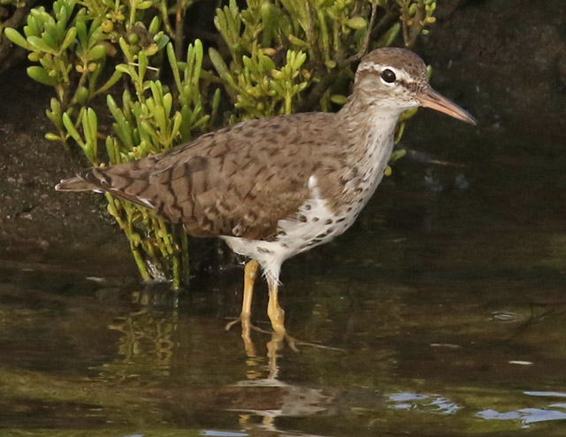 Spotted Sandpiper Photo 2