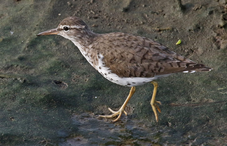 Spotted Sandpiper Photo 3