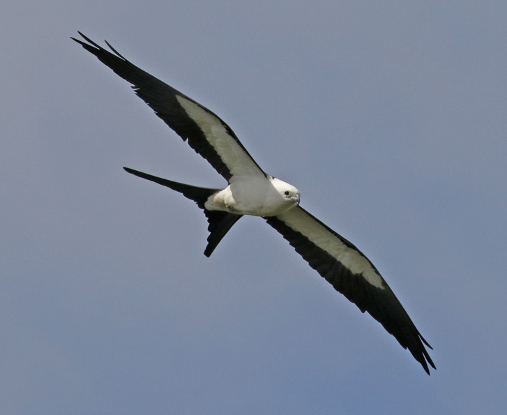 Swallow-tailed Kite (adult)