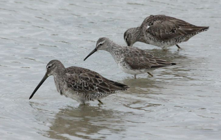 Stilt Sandpiper (adult in basic plumage) in the middle of two Dowitchers