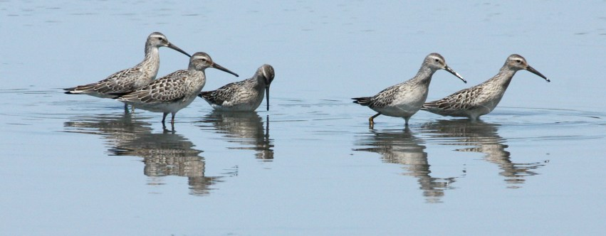 Stilt Sandpiper (juvenile) Photo 2