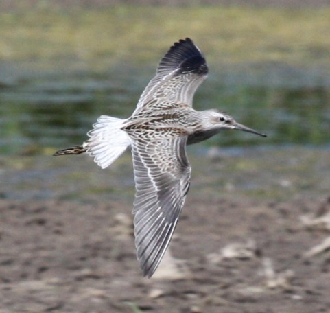 Stilt Sandpiper (juvenile in flight) photo #1