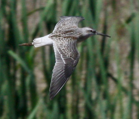 Stilt Sandpiper (juvenile in flight) photo #3