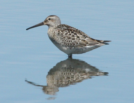 Stilt Sandpiper (juvenile) Photo 3