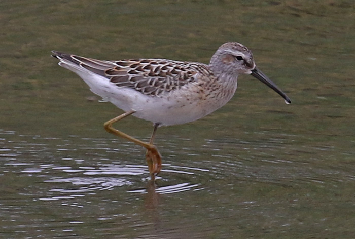 Stilt Sandpiper (juvenile) Photo 1
