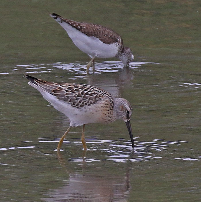 Stilt Sandpiper (juvenile) Photo 6