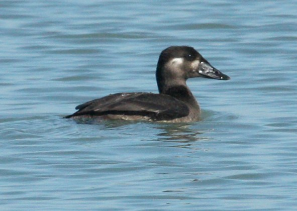 Surf Scoter (female)