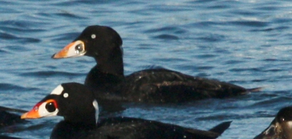Surf Scoter (1st cycle male)