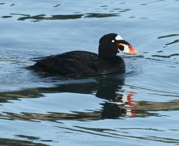 Surf Scoter (adult male)