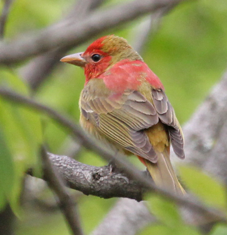 Summer Tanager (1st cycle male) Photo 1