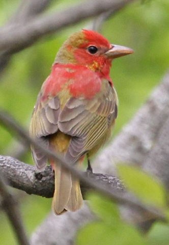 Summer Tanager (1st cycle male) Photo 2