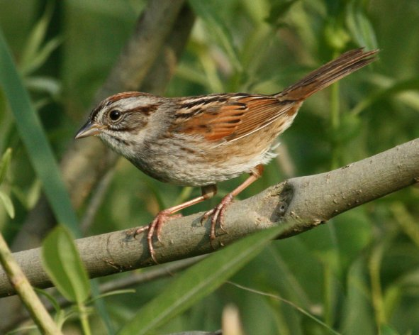 Swamp Sparrow photo #1